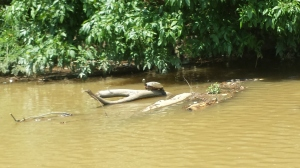 Bladensburg Park turtle